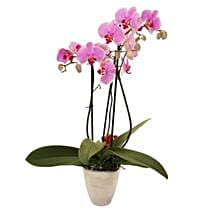 Elegant Orchid: Send Gifts to Chicester UK